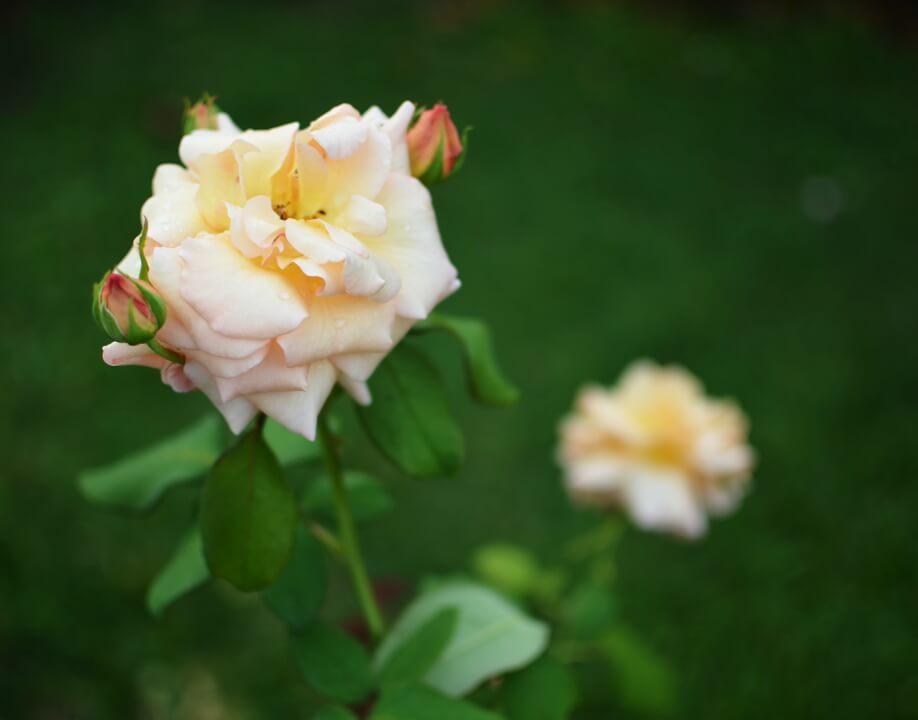 A rose between 2 rose buds In Joy or Sadness In Joy or Sadness 2013 04 12T153642 v1
